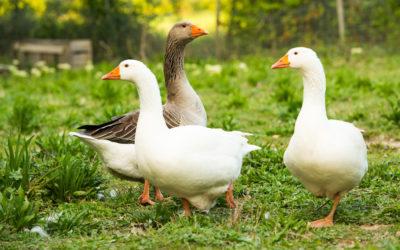 Lutte contre l'influenza aviaire
